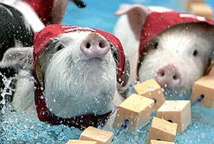 natation_cochon