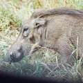 Pumba le phacochère