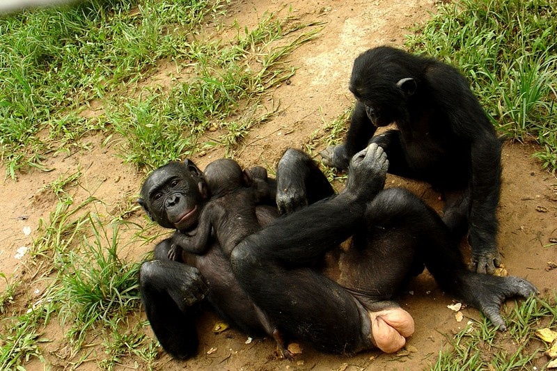 A family of Bonobos
