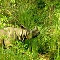 Rhinoceros dans le Terai