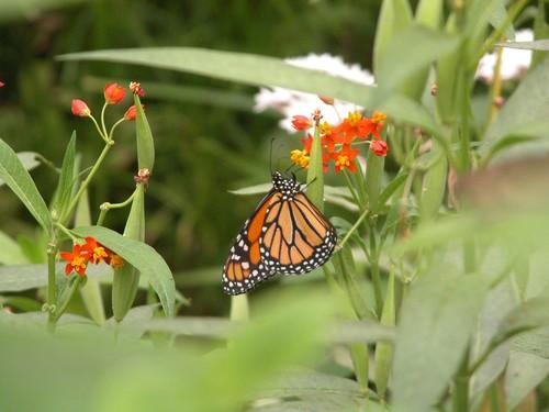 Papillons dans la serre n°2
