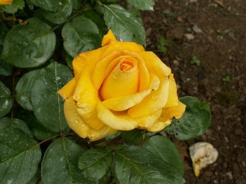 Rose nuancée orangé devient jaune