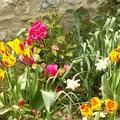 Camélia marié avec des tulipes et narcisses1