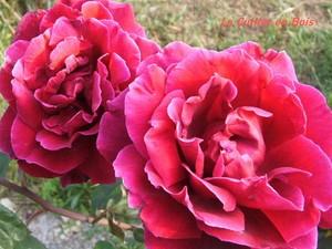 roses__panouies_02