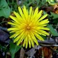 fleur_pissenlit1