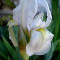 iris.jpg1