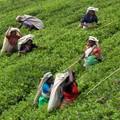 Cueilleuses de thé