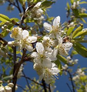 fleurs_prunus1