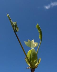 tulipier_1