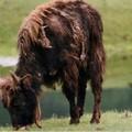 Jeune yak, dans la vallée de l'Orkhon, Mongolie