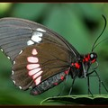 Red_20and_20black_20Butterfly_20small2_20PP_20145_4581_IMG