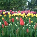 tulipes encore....