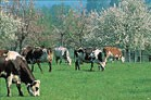 vaches_pommiers_e._b_nard