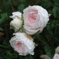 Roses floribunda