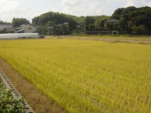 Fukuoka - Champ de riz en fin d'automne