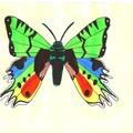 L'Uranie un papillon plein de couleurs