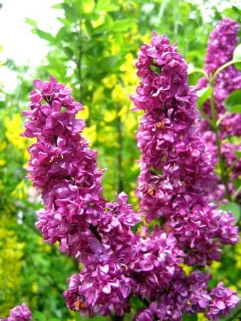 Aupr s de ma blonde souvenirs d 39 enfance - Au jardin de mon pere les lilas sont fleuris ...