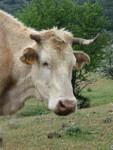 vache_corse2