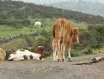 vache_corse4