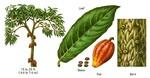 cacao32