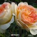 Rose_bicolore_3_b