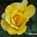 Rose_jaune_1
