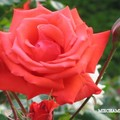 Rose_rouge_orange