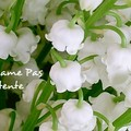 Lily Of The Valley - 1er Mai