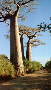 baobabs_1