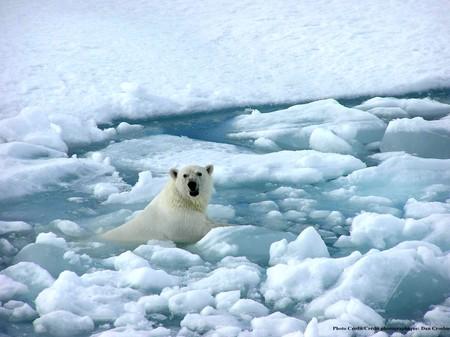 ours_polaire_dans_la_glace
