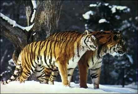 tigre_couple