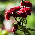 Rose_Rouge
