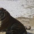 Les tigres de Mandchourie.