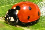 coccinnelle_00751