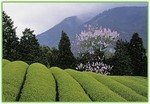 tea_fields_2_shizuoka_japan_premier_tea_growing_area