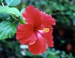 casablanca_hibiscus