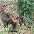14 - Jeune babouin à dos de maman
