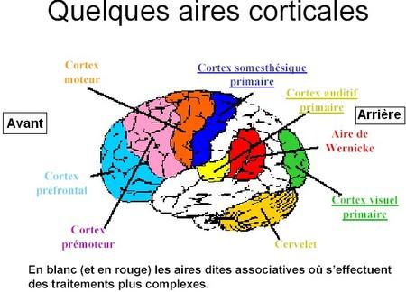 aires sensorielles du cerveau