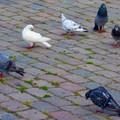Les pigeons de Copenhague - Août 2003