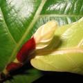Ficus Lirata