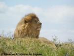 lion.4