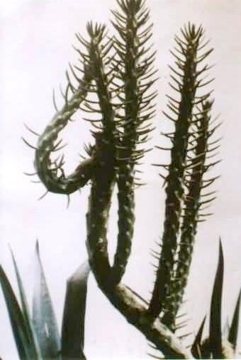 le nom d'allah sur un cactus