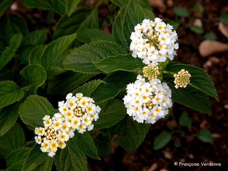 Lantanier ou th de gambie lantana camara all e fleurie for Plante arbustive fleurie