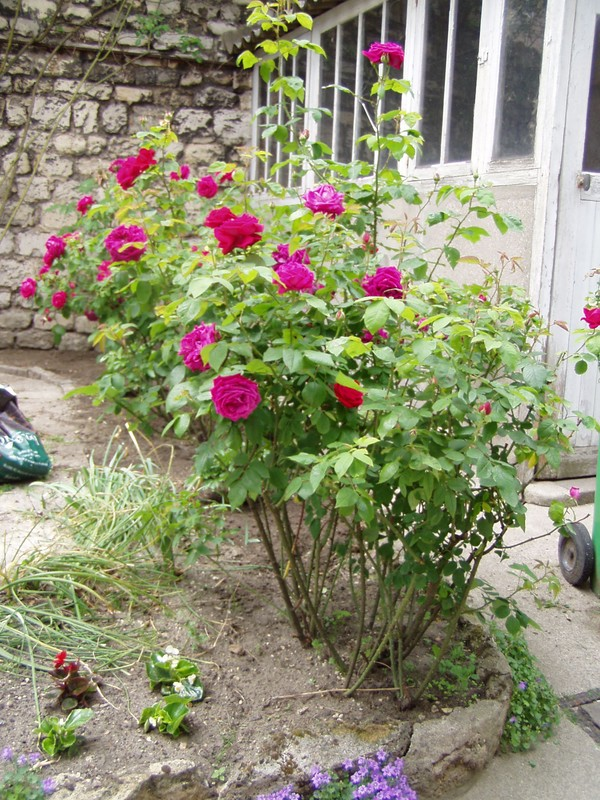 rosiers trèès anciens