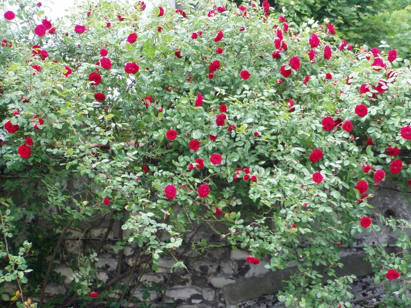rosiers grimpant planté lors de notre arrivée dans cette maison il y a 15 ans.
