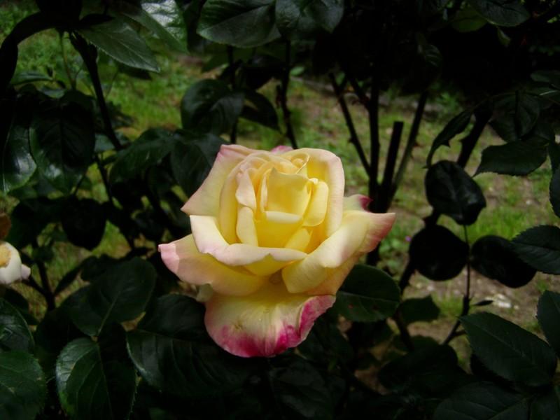 roses28_mai_010