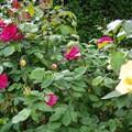bordure de rosiers