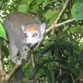 Lemur courroné