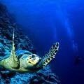 La grâce d'une tortue