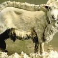2. Le poil de laine